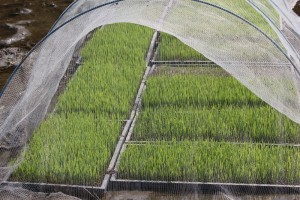稲の成長2