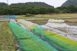稲の成長4