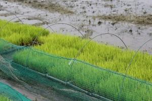 稲の成長3